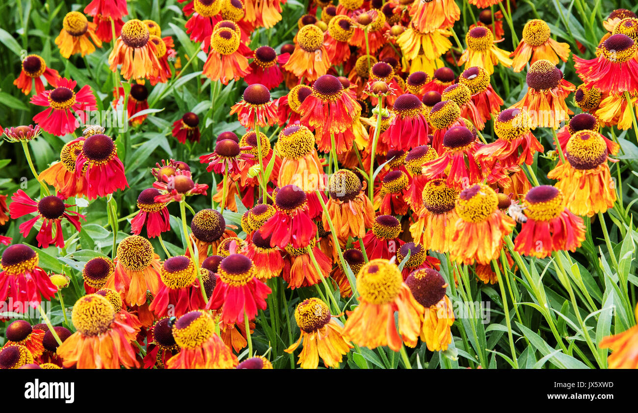 Helenium or sneezewort in perennial herbaceous border at Hauser and Wirth in Bruton Somerset UK - Stock Image