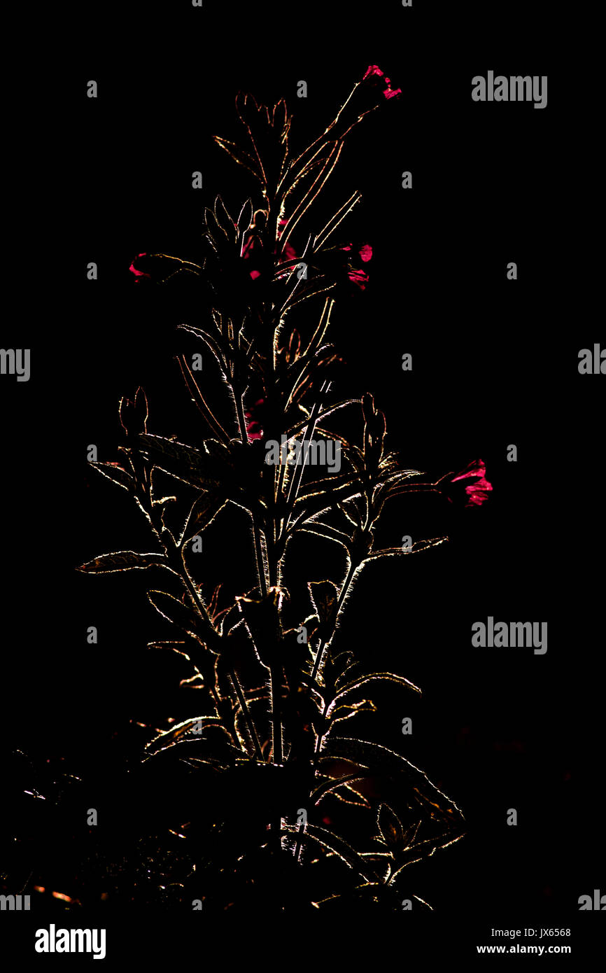 Rosebay Willowherb backlit Stock Photo