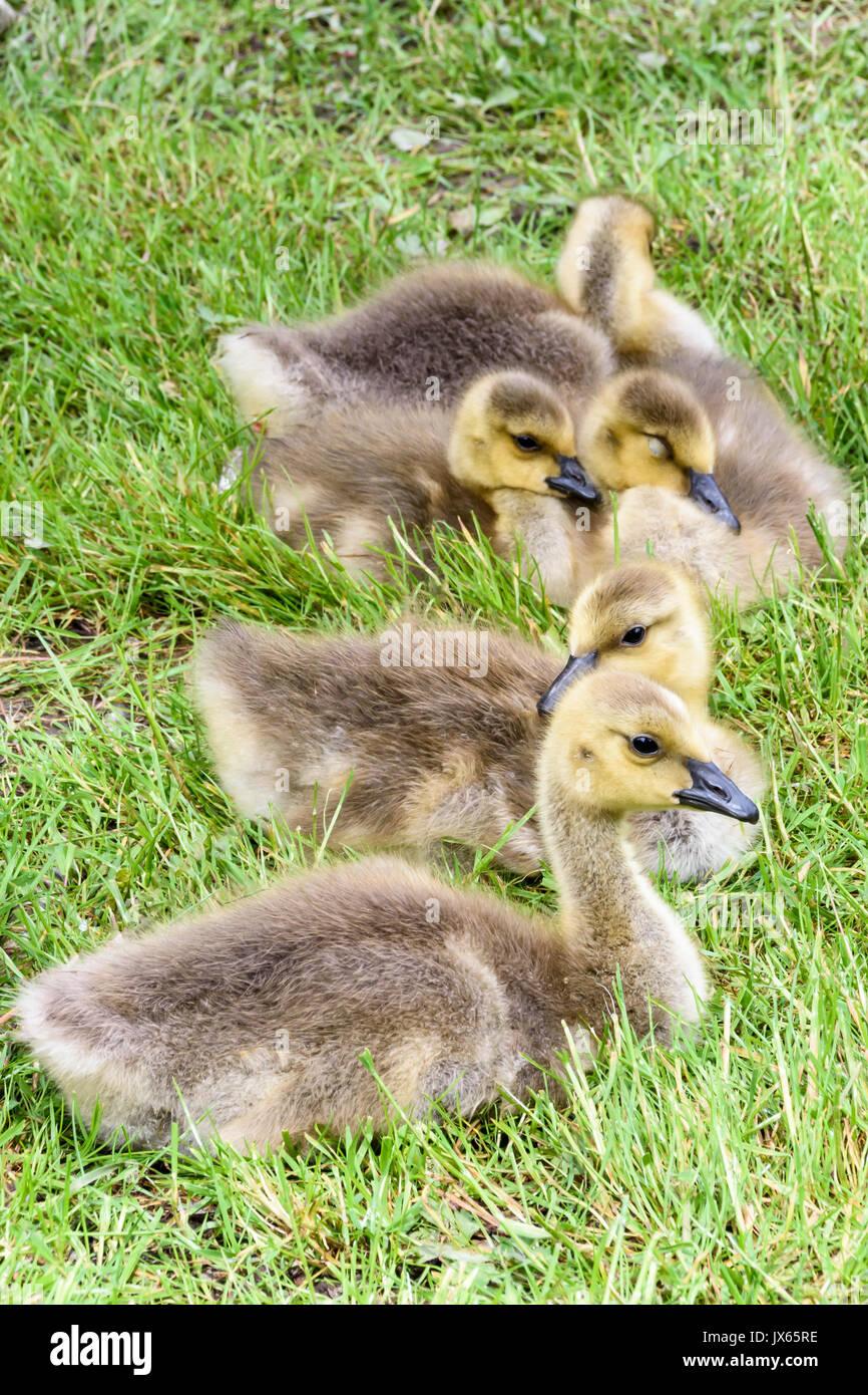 goslings, Canada geese, Branta canadensis, Burnaby Lake, Burnaby, British Columbia, Canada - Stock Image