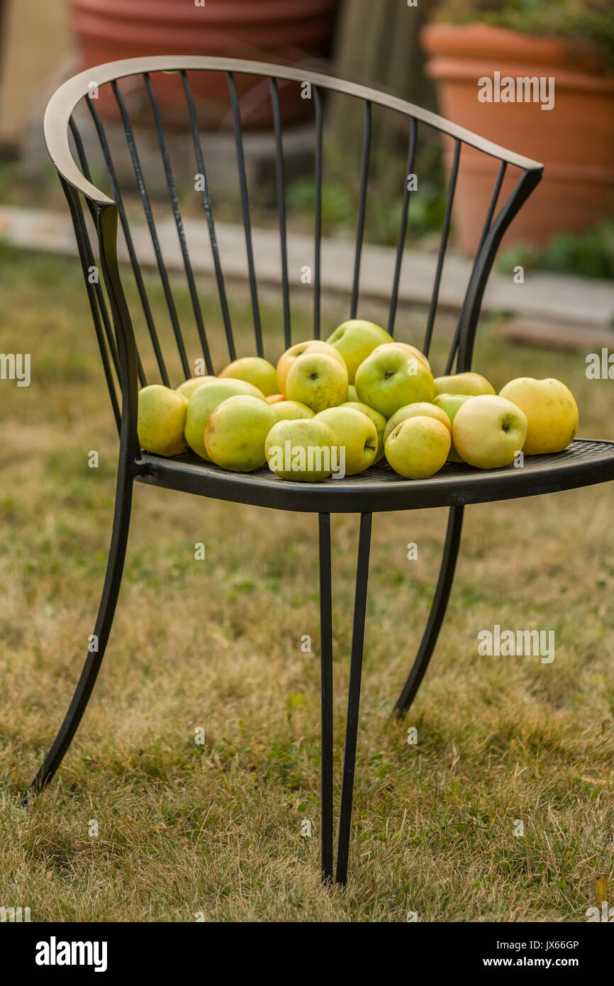 Freshly havested Golden Delicious apples on a lawn chair in Carnation, Washington, USA - Stock Image
