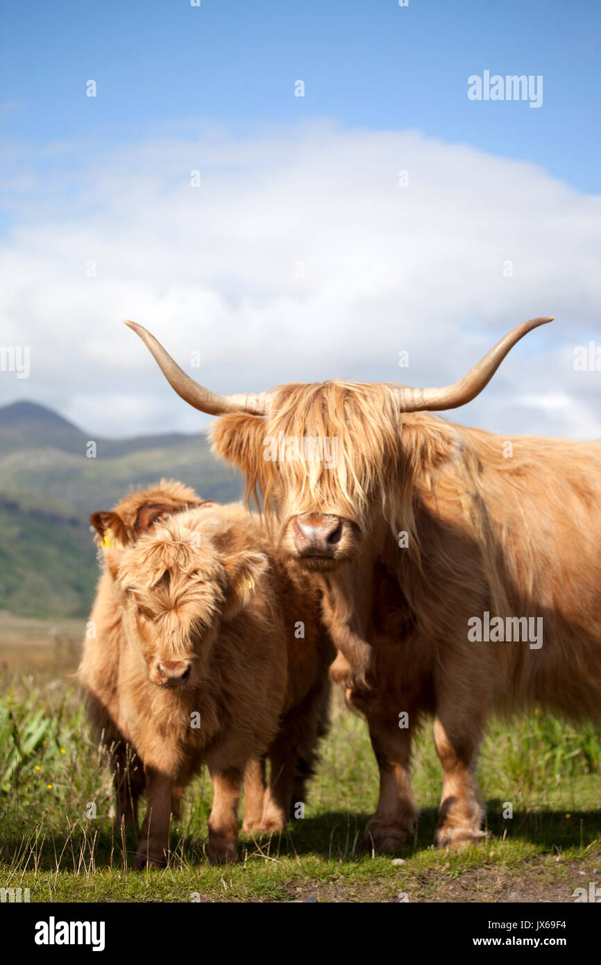Highland Cows, Scotland - Stock Image