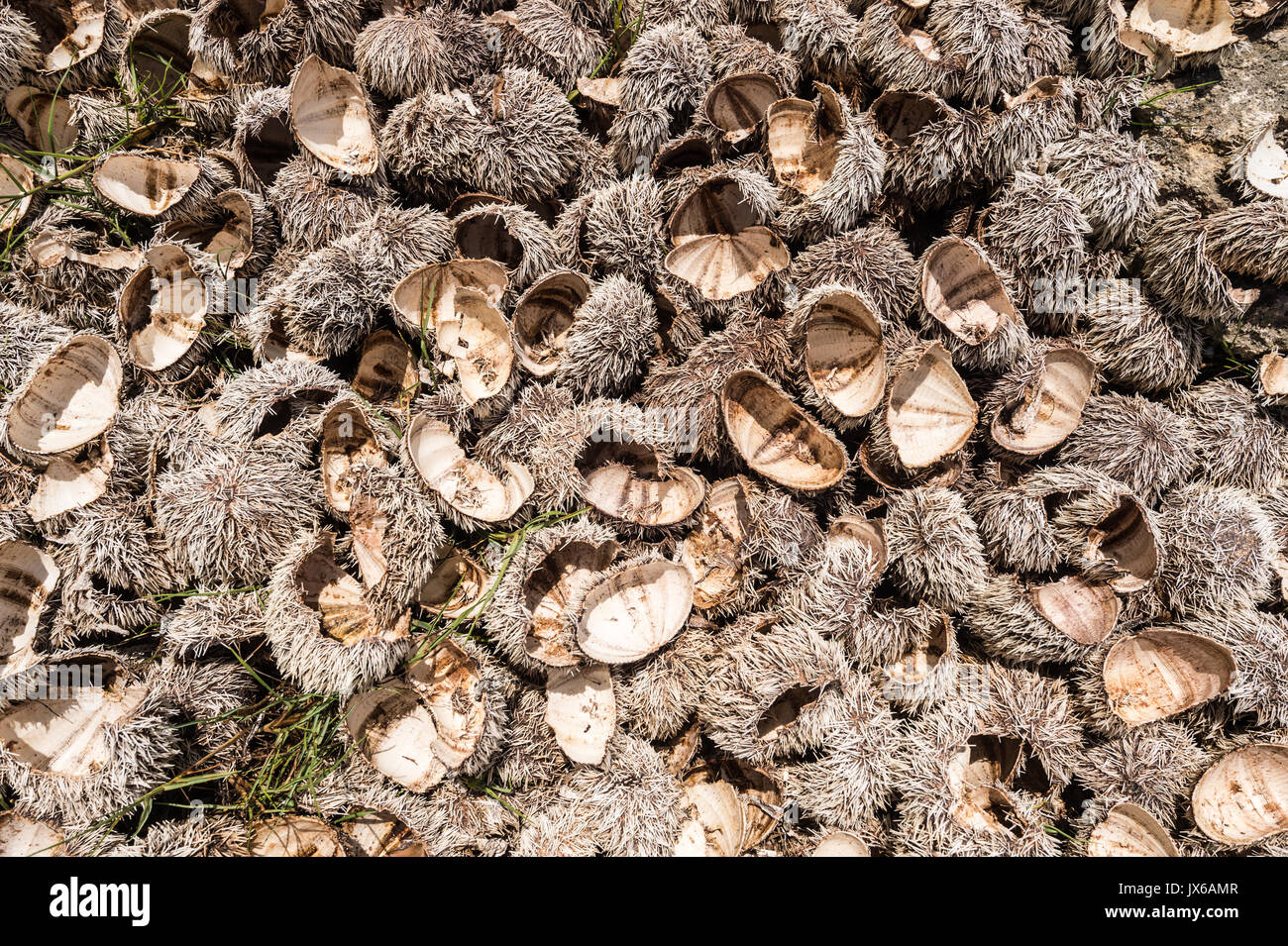 Many urchin shells left on the beach after consumption - Stock Image