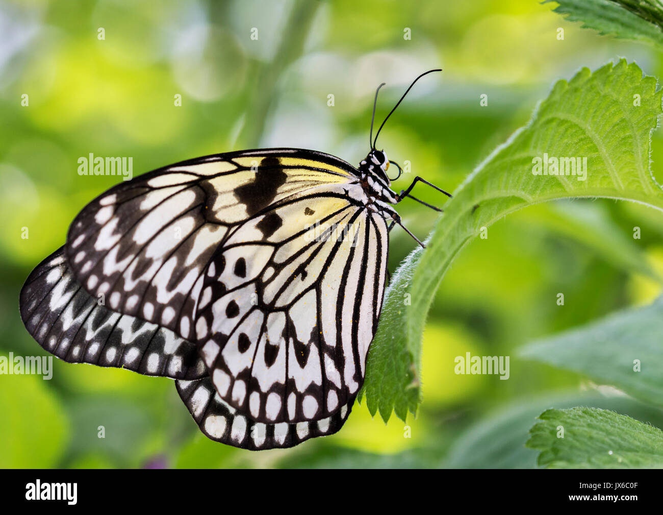 Idea leuconoe, the paper kite, rice paper or large tree nymph - Stock Image