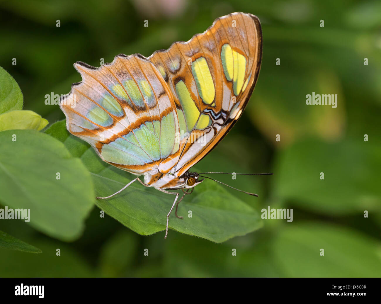 Siproeta stelenes (malachite) is a neotropical brush-footed butterfly (family Nymphalidae) - Stock Image