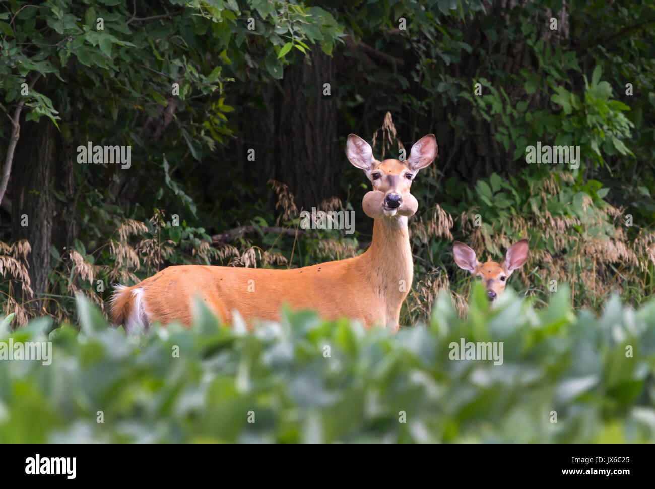 Doe of white-tailed deer with fawn at soybean field stealing soybeans and looking like hamster with its full mouth - Stock Image