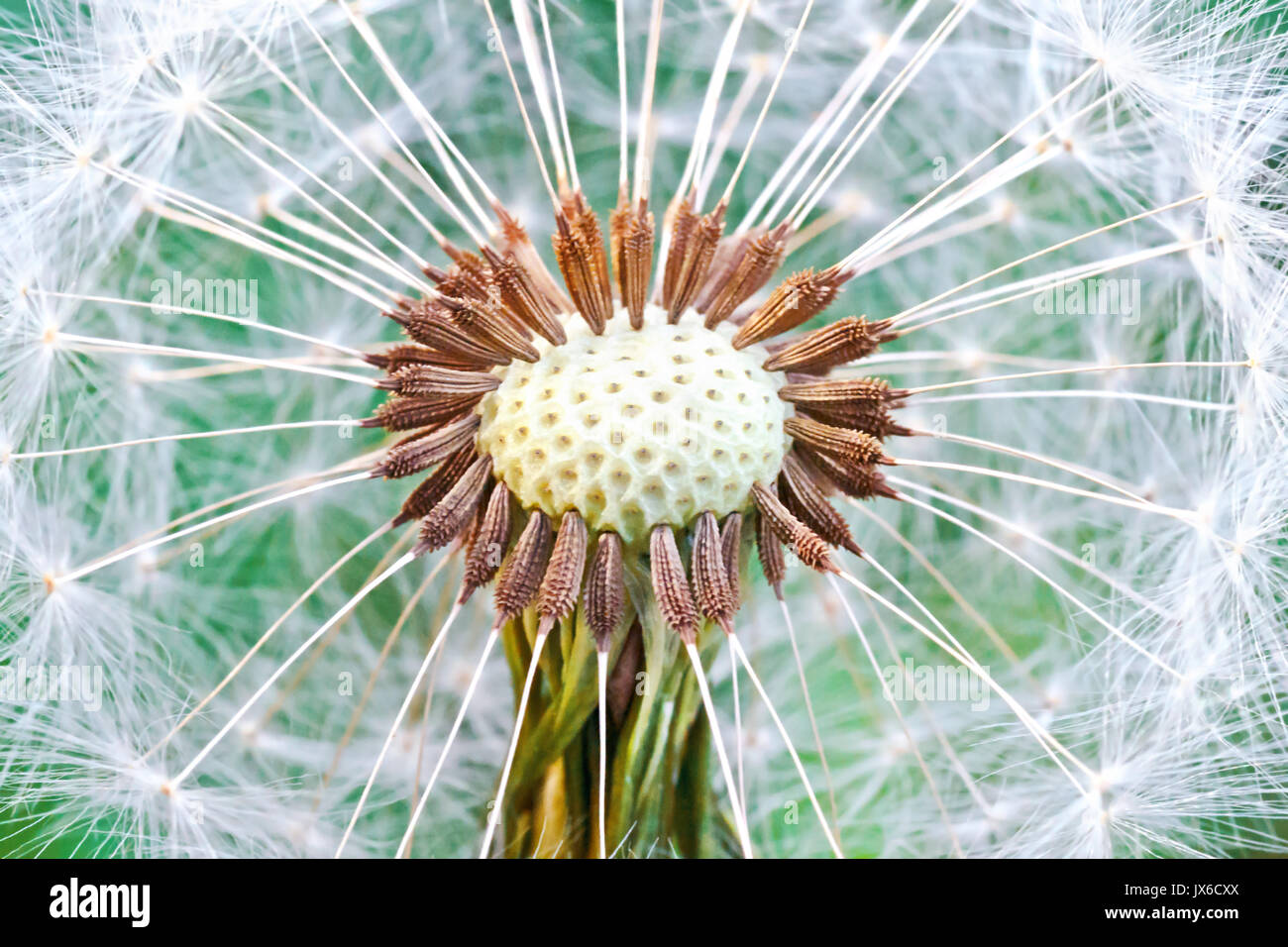 Dandelion seed head. Abstract dandelion flower background, extreme closeup (Macro) with soft focus, beautiful nature Stock Photo