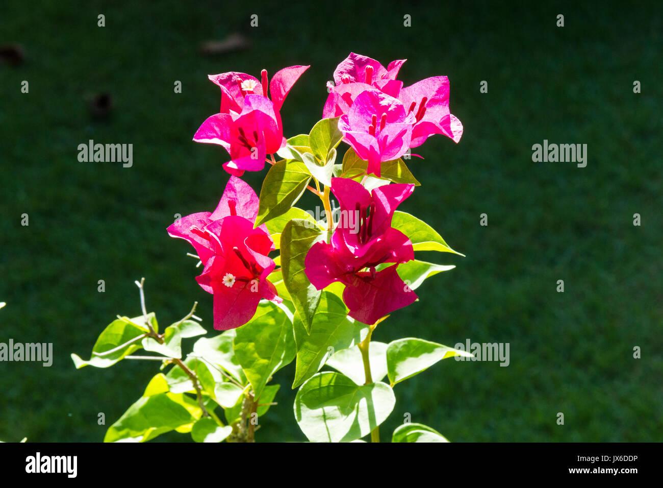 Pink bougainvillea flowers on a garden shrub - Stock Image