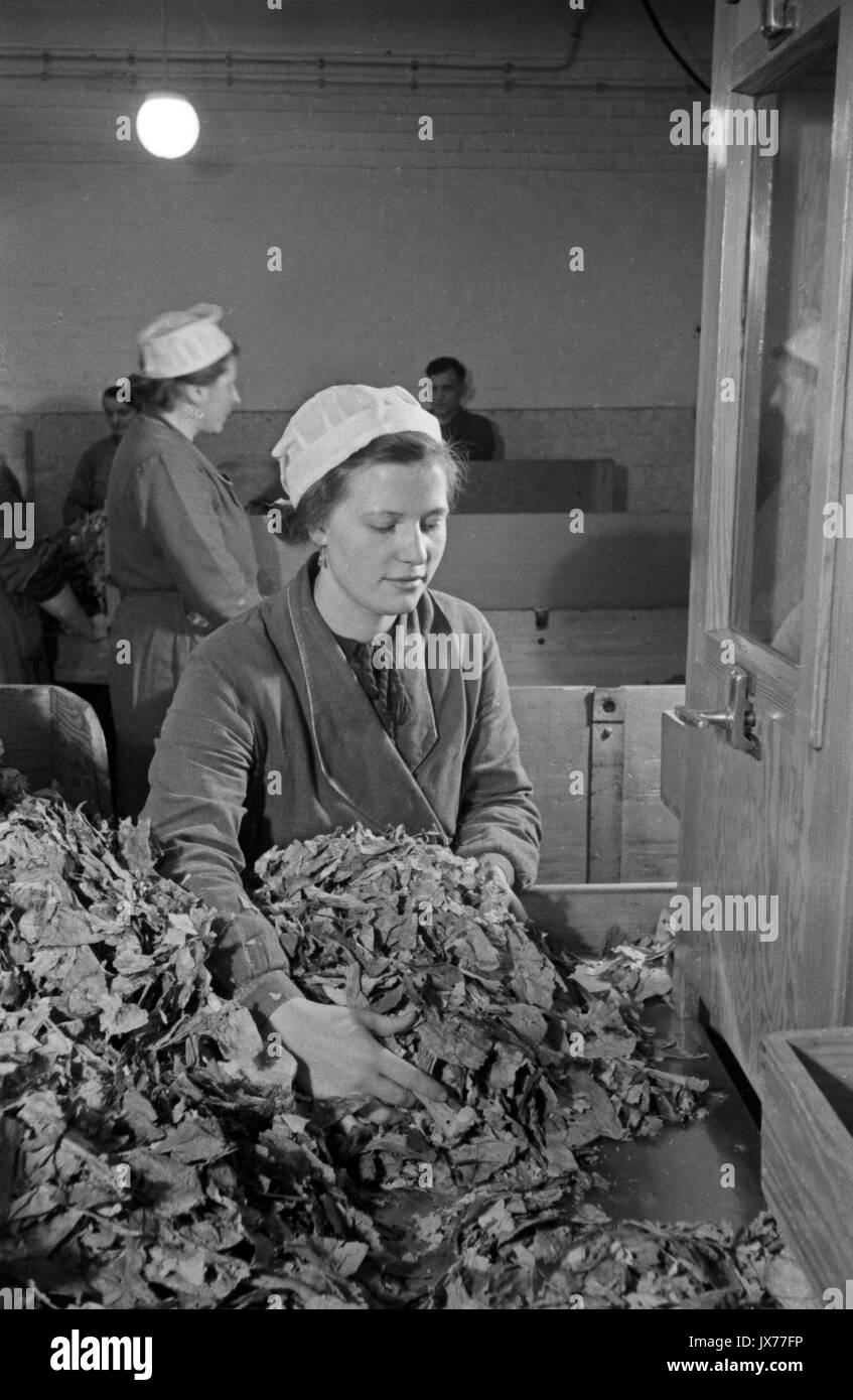 Woman processing dried tobacco leaves in cigarette factory. - Stock Image