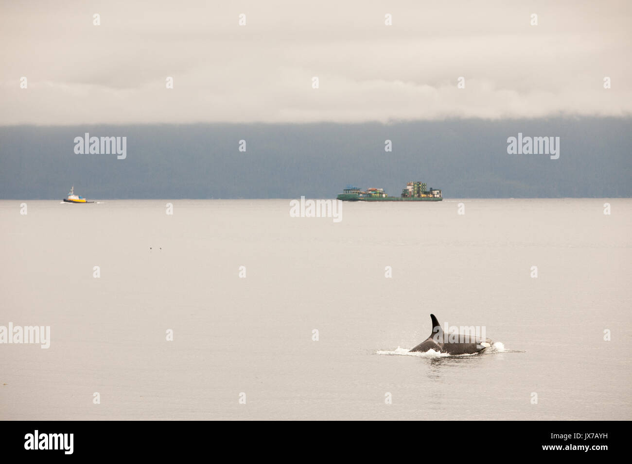 An orca whale and its dorsal fin breach the water. - Stock Image