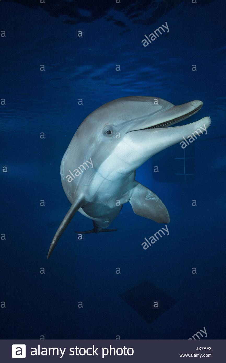 A captive bottlenose dolphin at Six Flags Parks in Vallejo, California. - Stock Image