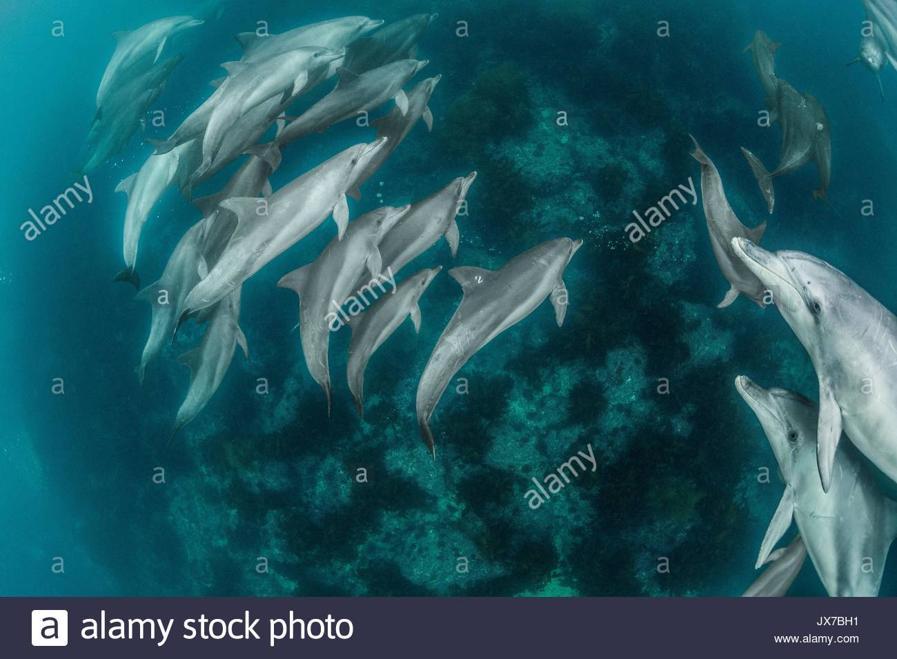 Easily identified by the 2 marked on her dorsal fin, after years in captivity, Chunsam, a released dolphin quickly returns to her native pod. - Stock Image
