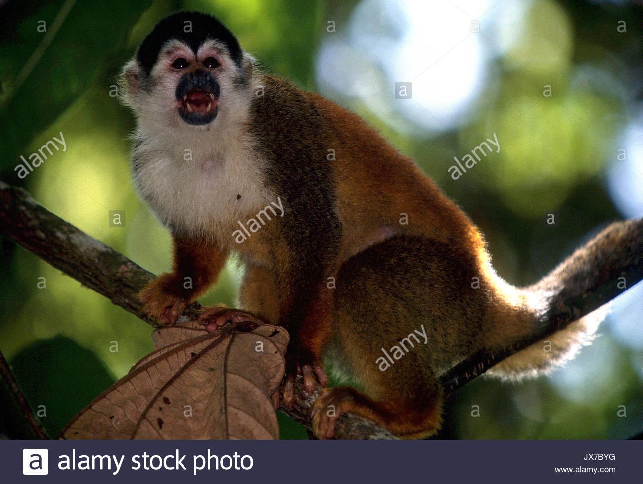 Portrait of a Central American squirrel monkey, Saimiri oerstedii. - Stock Image