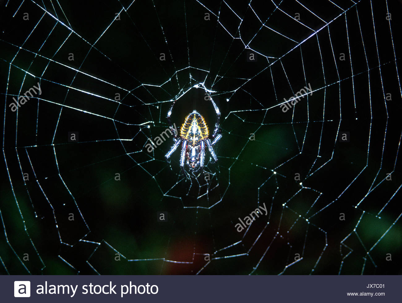 An orb-weaving spider in the center of its web. - Stock Image