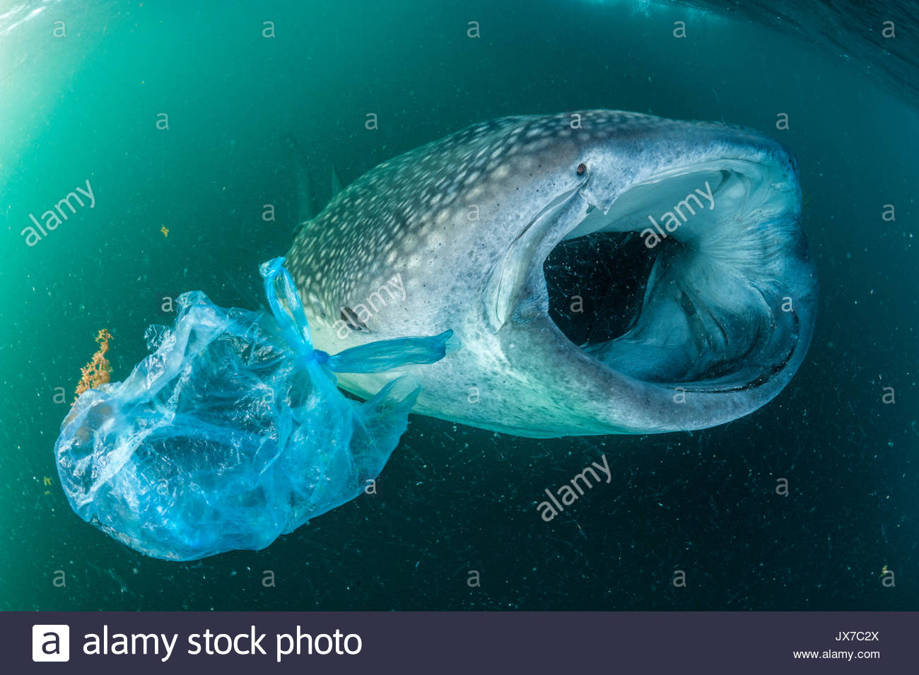 A whale shark swims beside a plastic bag in the Gulf of Aden . - Stock Image