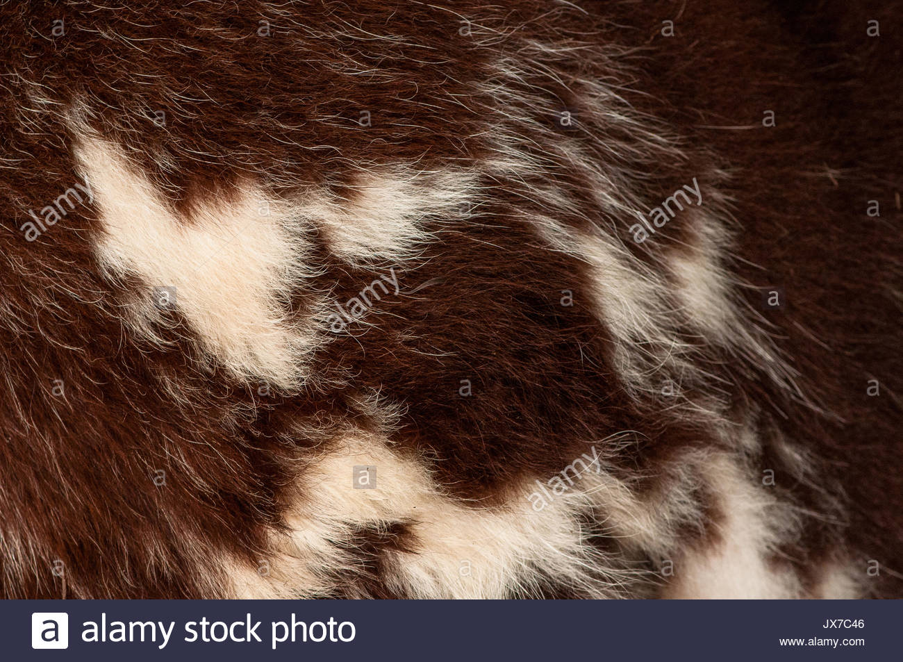 Close up of the fur of a Guernsey cow at the Montgomery County Agricultural Fair. - Stock Image
