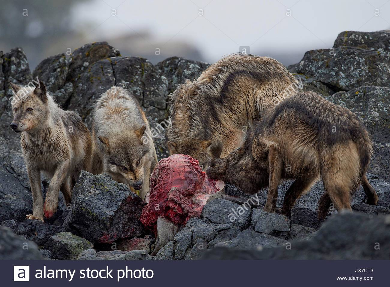 An island pack of coastal wolves devours a dead sea lion. - Stock Image