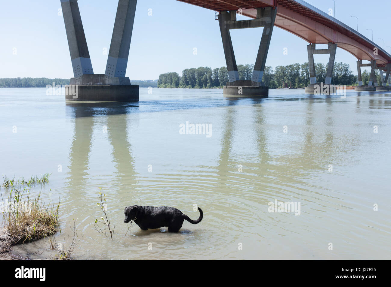 Dog cooling off in Fraser River.  Mission, BC. Canada - Stock Image