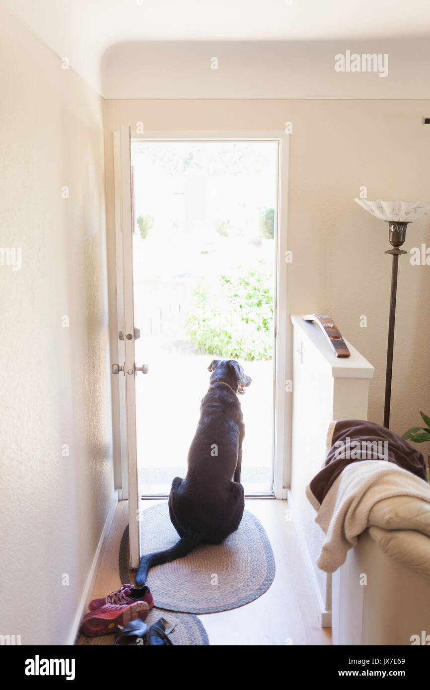 Big dog waiting by the door to go for a walk. - Stock Image