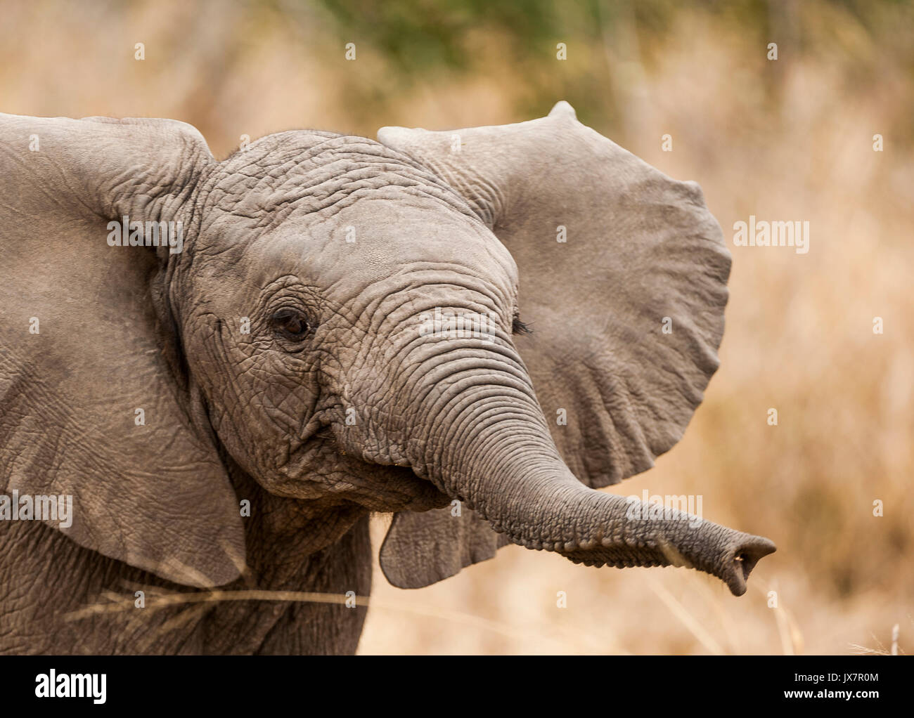 African Elephant calf  (Bush subspecies), Loxodonta africana, in Sabi Sand Reserve, MalaMala, South Africa. - Stock Image