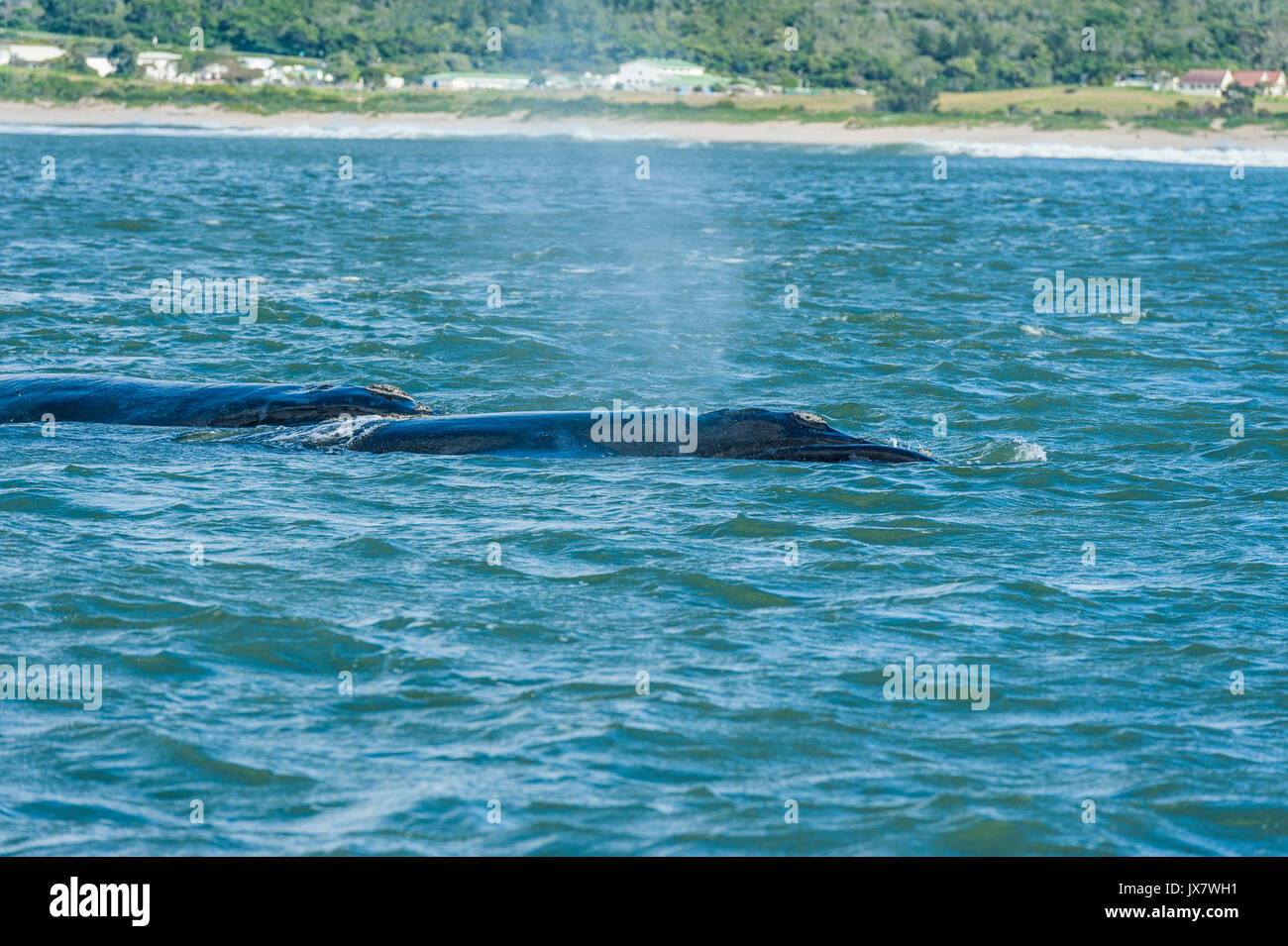 Southern Right Whale, Eubalaena australis, in Plettenberg Bay at Plettenberg, South Africa. Stock Photo