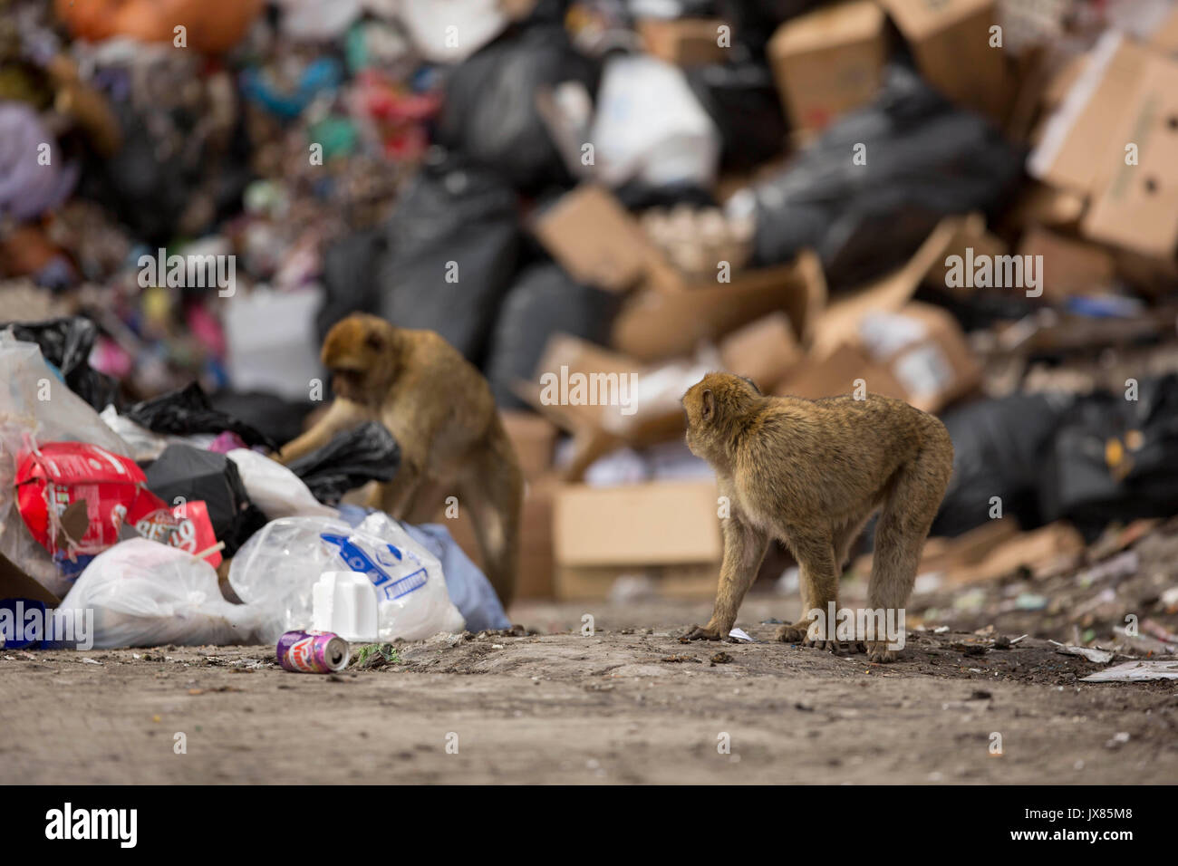 Barbary macaques scavenge for food in a landfill site in Gibraltar. - Stock Image