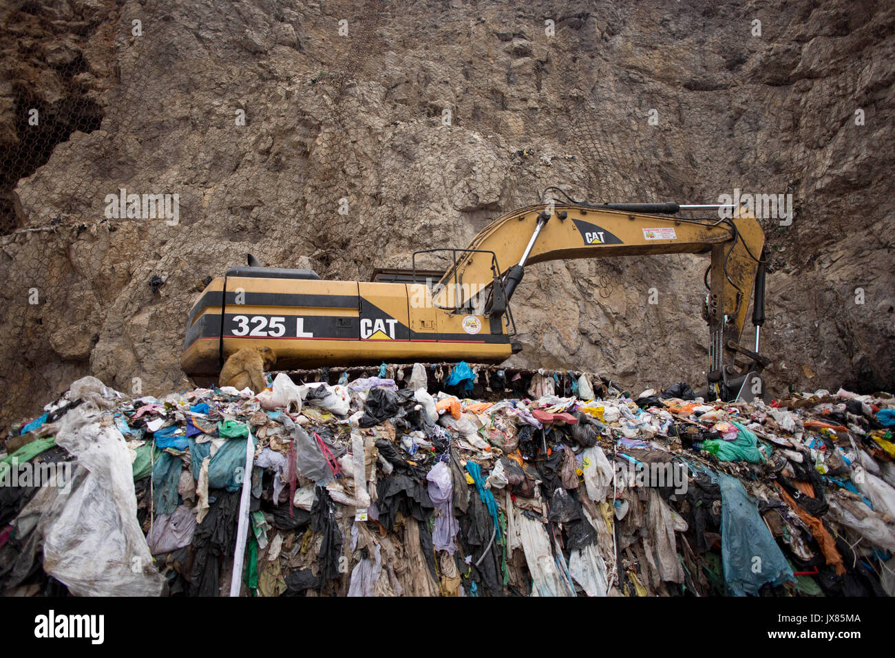 A Barbary macaque scavenges for food in a landfill site in Gibraltar. - Stock Image