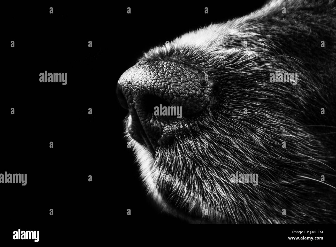 Dogs wet nose in black and white - Stock Image