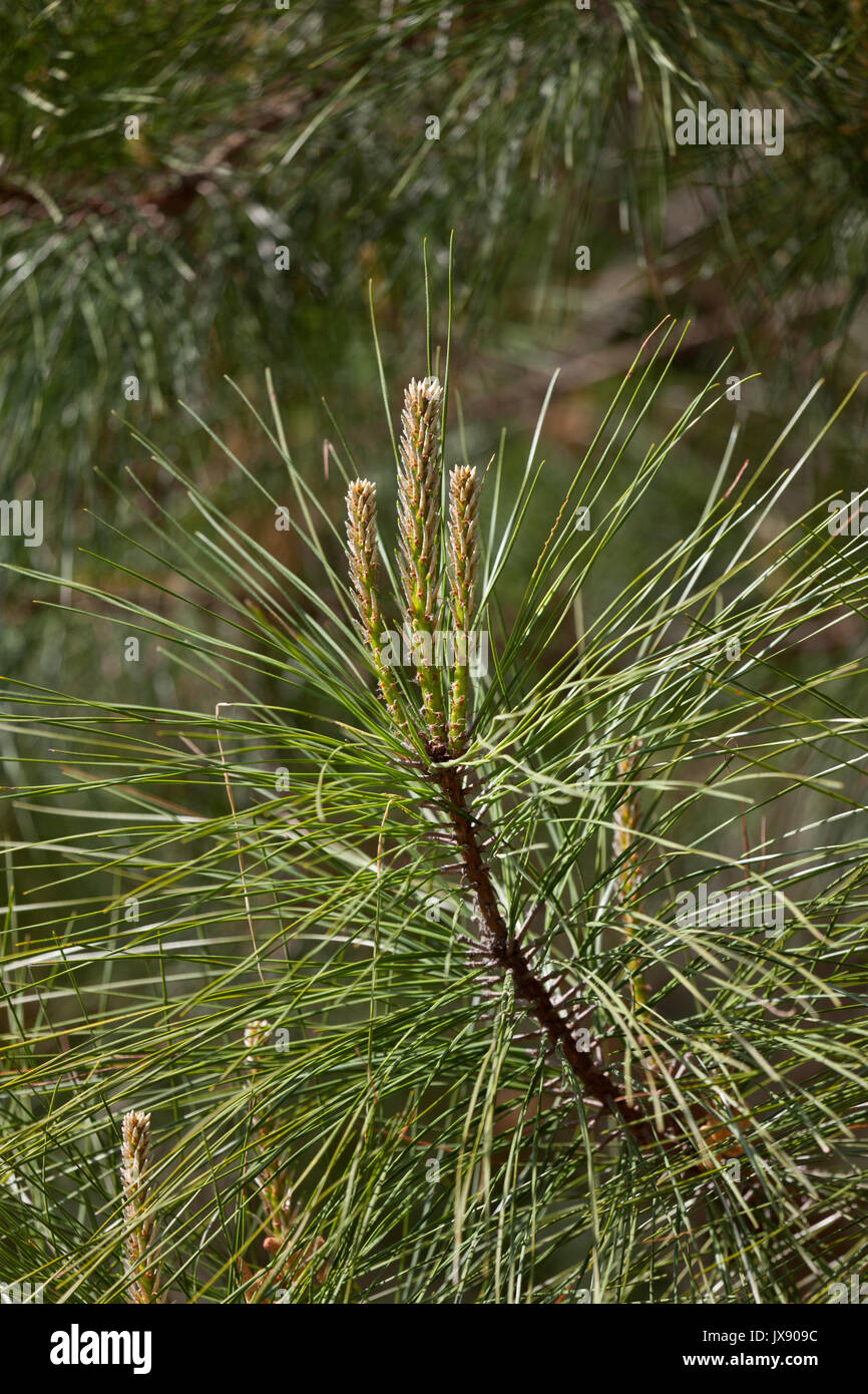 Close up of pine tree needles - Stock Image