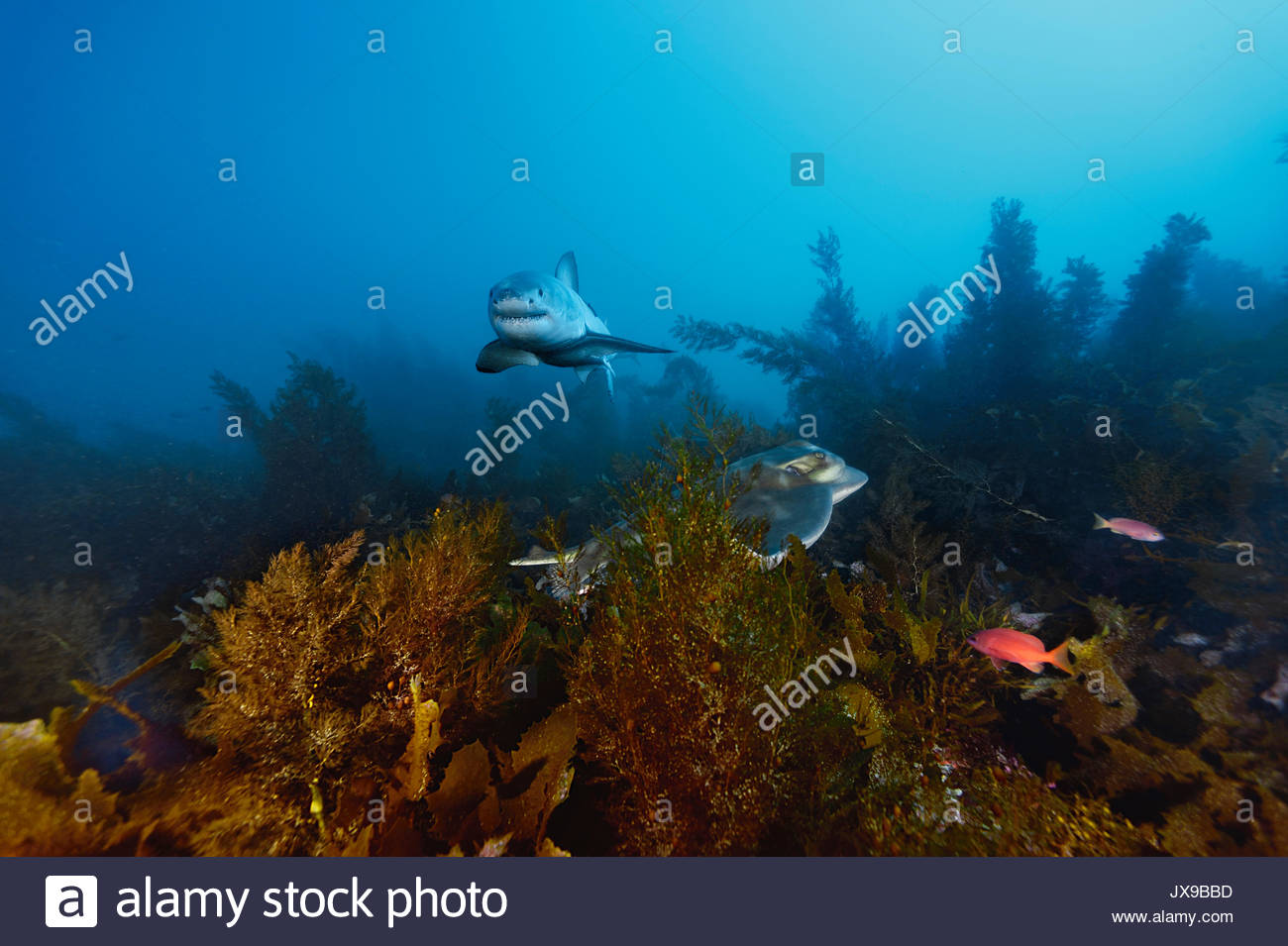 A great white shark swims past a ray in a kelp forest. - Stock Image