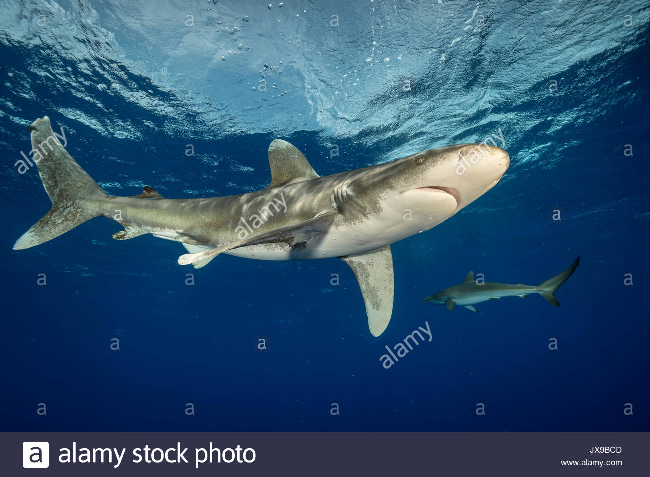 Oceanic whitetip shark, Carcharhinus longimanus, swims in the waters off Cat Island in the Bahamas. - Stock Image