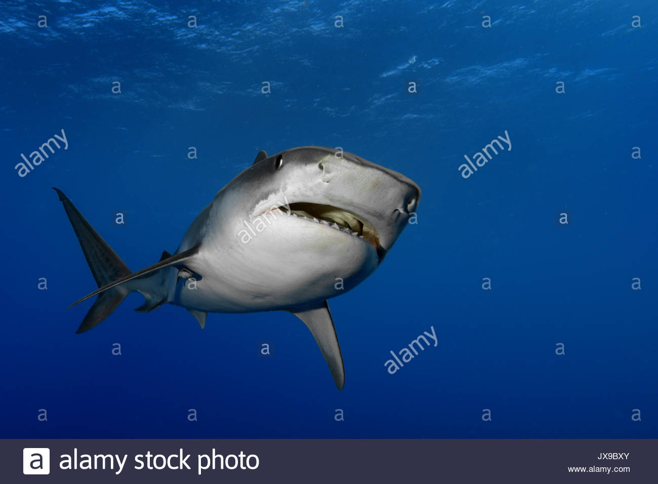 A tiger shark swims in waters off the coast of South Africa. Stock Photo
