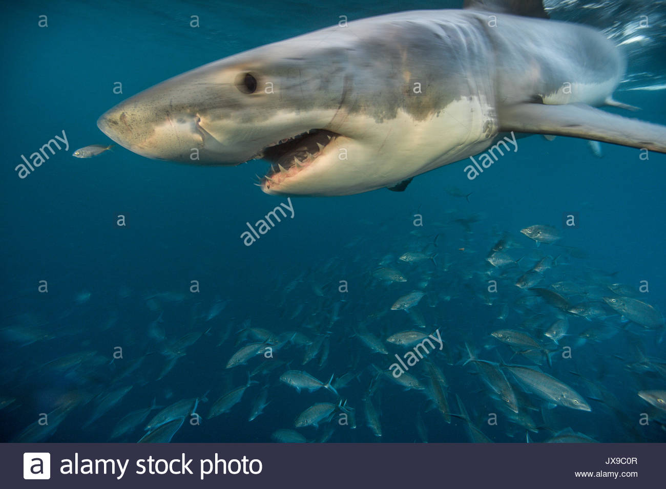 Great White Shark Mouth Open Stock Photos & Great White