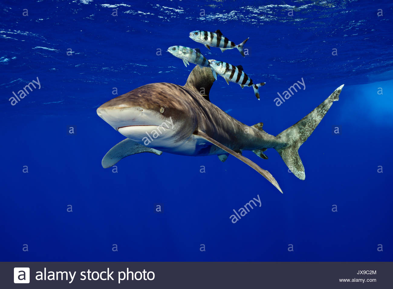 An oceanic whitetip shark, Carcharhinus longimanus, coexists with pilot fish in the waters off Cat Island in the Bahamas. - Stock Image