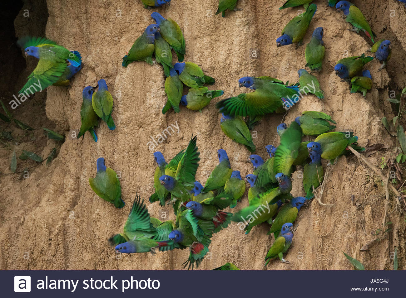 Blue headed parrots on a cliff in Manu National Park. - Stock Image