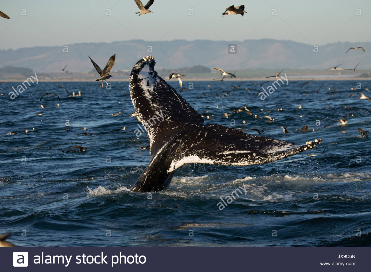 A humpback whale dives in the warm waters of Monterey Bay, California. - Stock Image