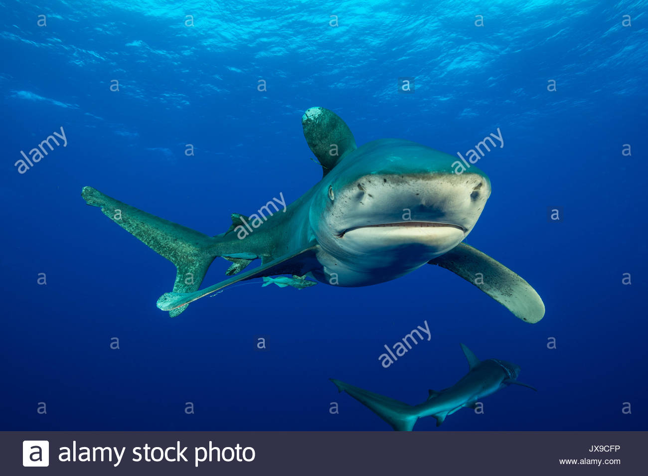 An oceanic whitetip shark, Carcharhinus longimanus, swims in the waters off Cat Island in the Bahamas. - Stock Image