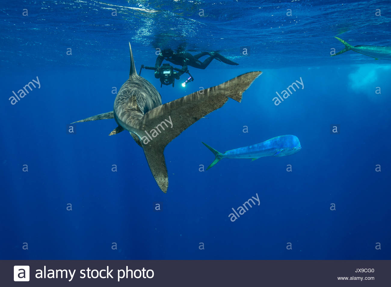 A photographer takes images of an oceanic whitetip shark, Carcharhinus longimanus, swimming in the waters off Cat Island in the Bahamas. - Stock Image