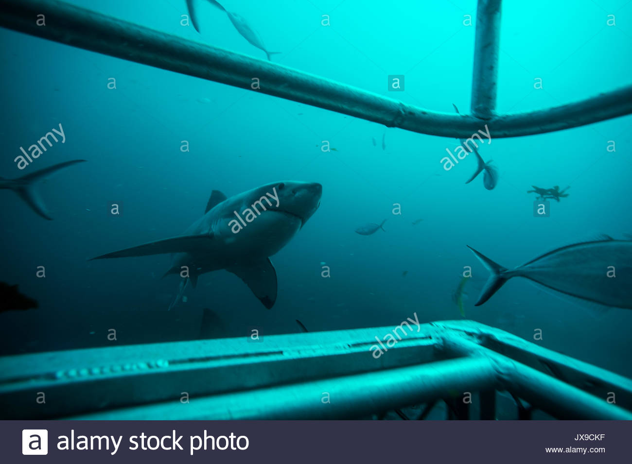 As seen through a shark cage, a great white shark swims in waters off the Neptune Islands. - Stock Image