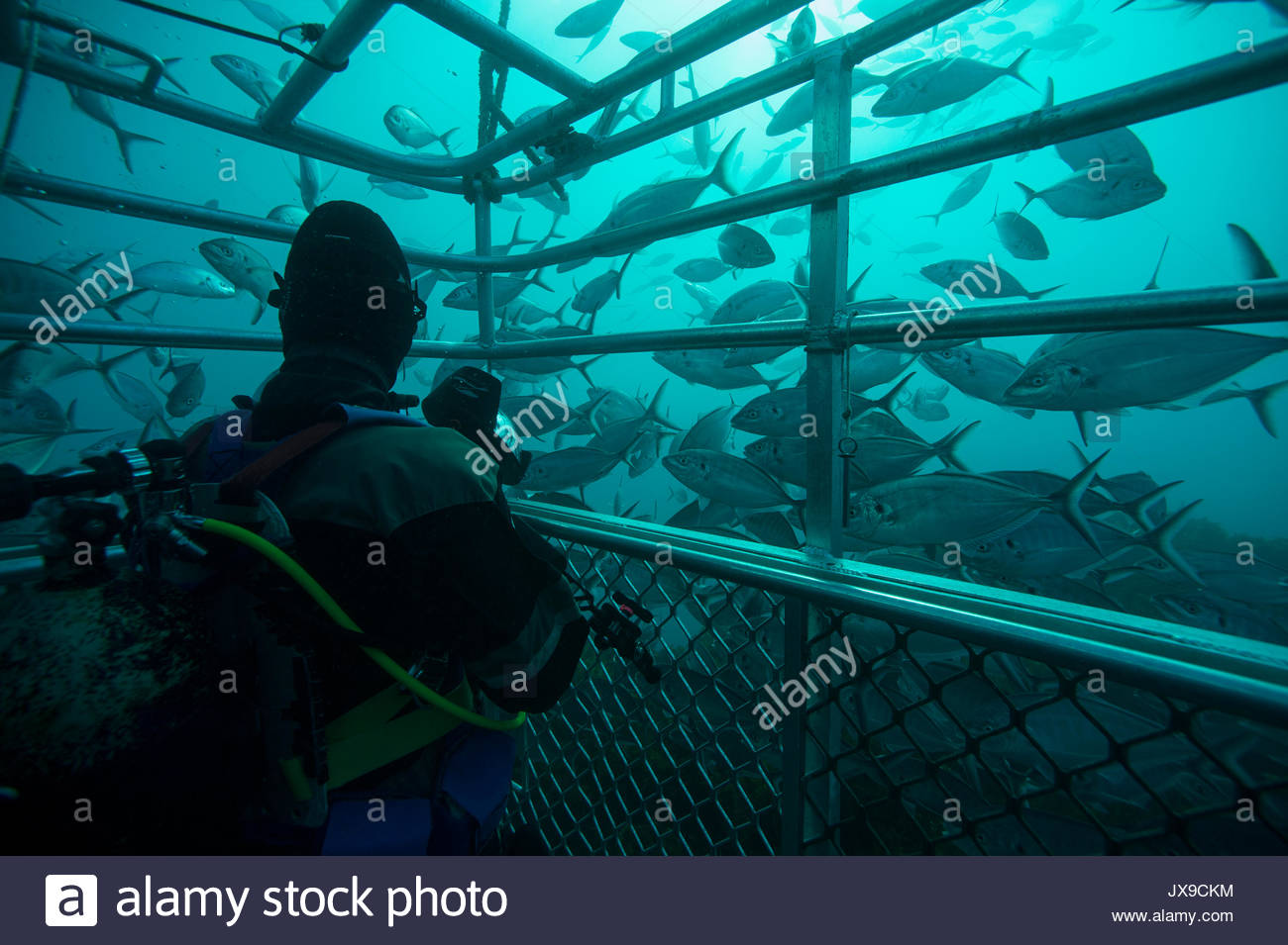 Schools of fish swim around a shark cage in waters off the Neptune Islands. - Stock Image