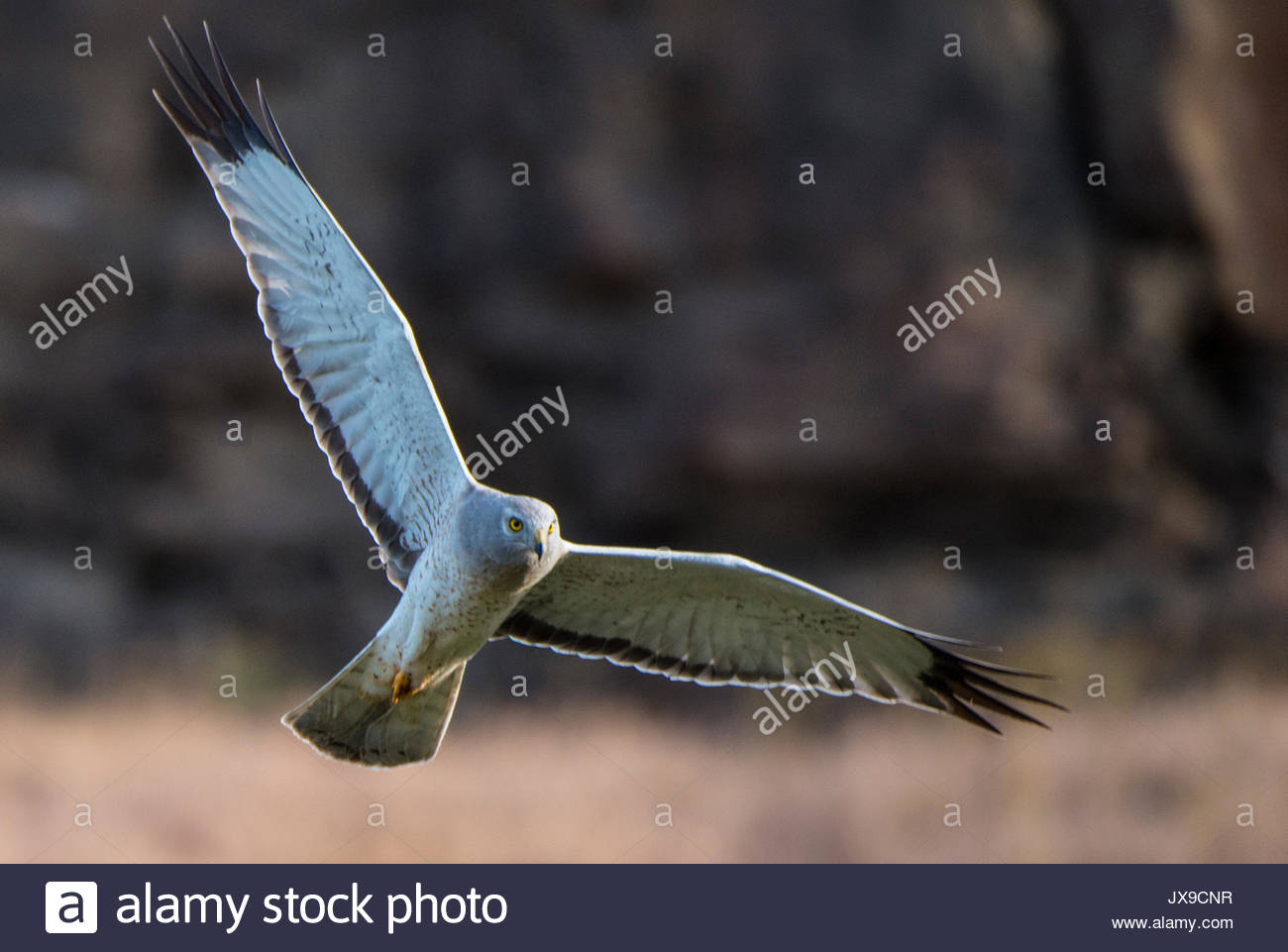 A northern harrier, Circus hudsonius, in flight at Drumheller's Coulee. Stock Photo