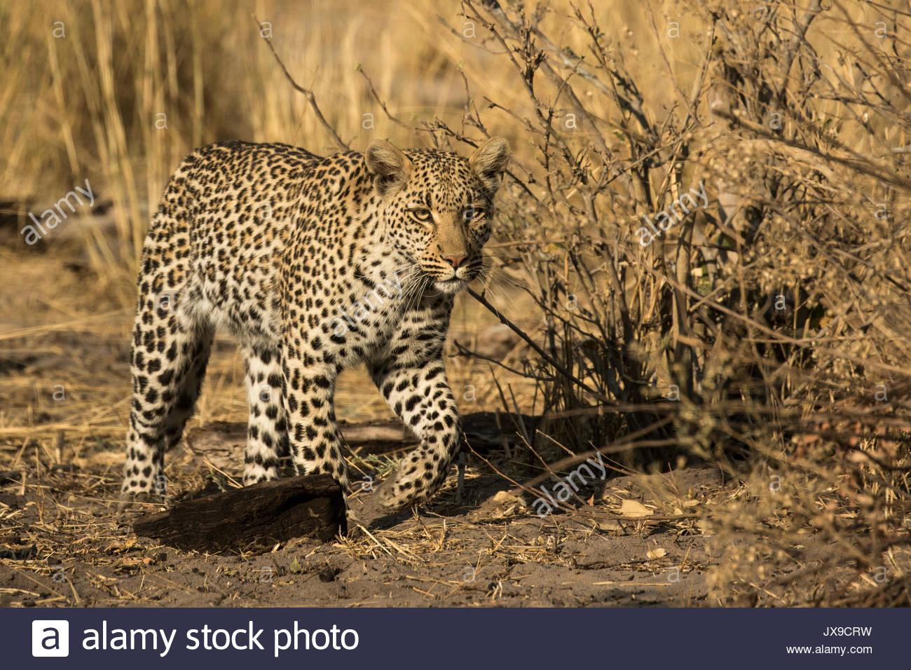 A female leopard in the Okavango Delta's Moremi Game Reserve. - Stock Image