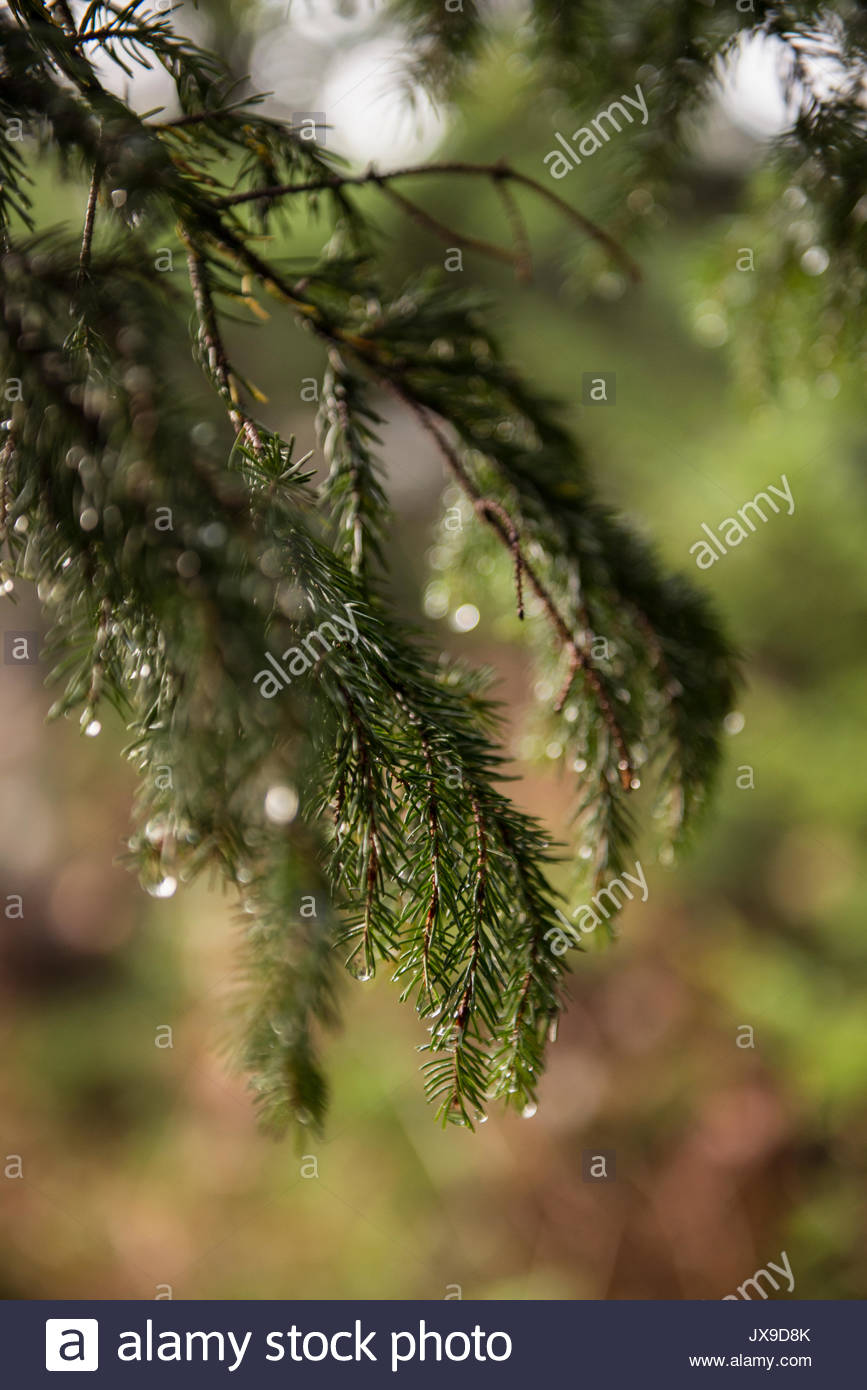 Close up of an evergreen branch on Black Balsam Knob in the Pisgah National Forest. - Stock Image