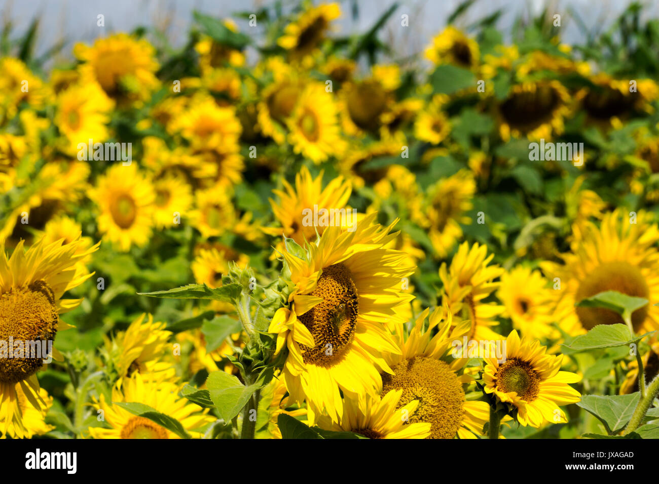 Beautiful sunflower with a  butterfly - Stock Image