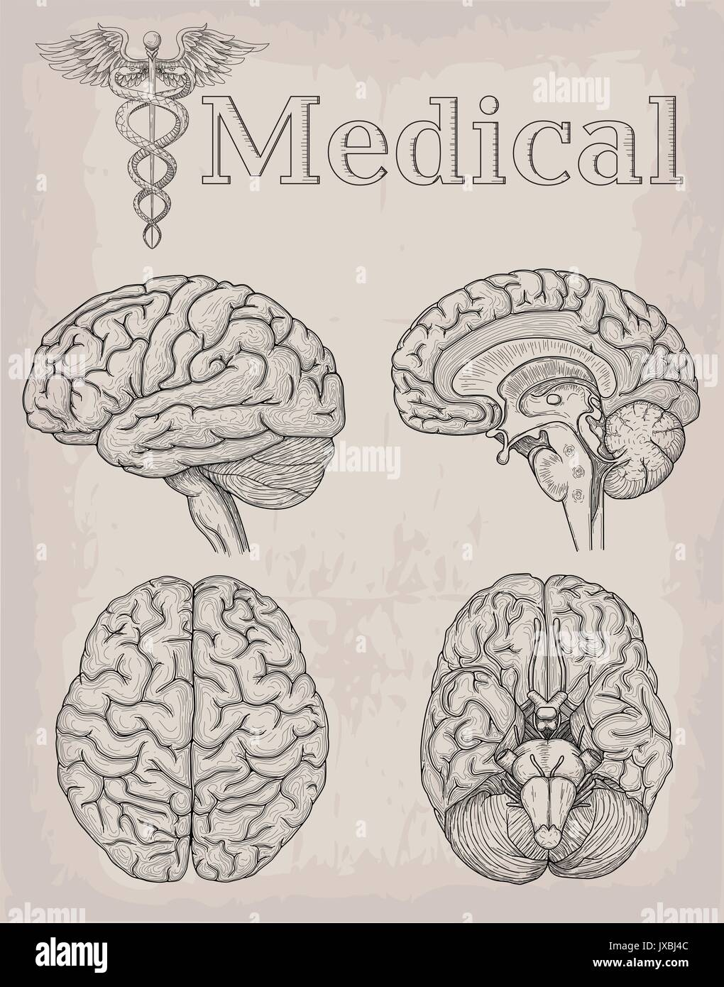 Anatomical Brain organ illustration. Medicine, Vector illustration ...