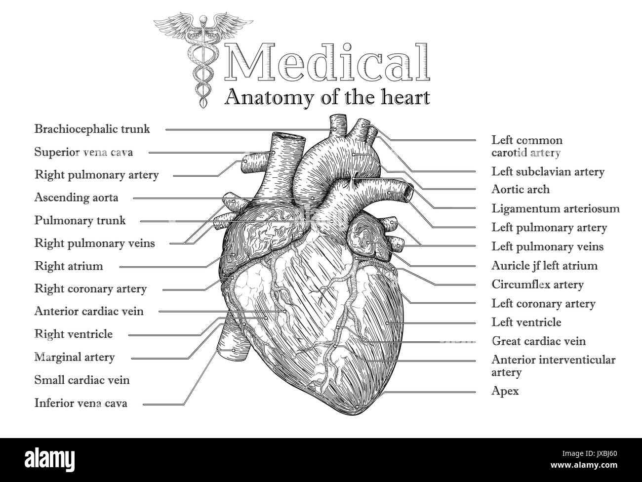 Anatomical Human heart hand drawn poster with inscription of vein ...
