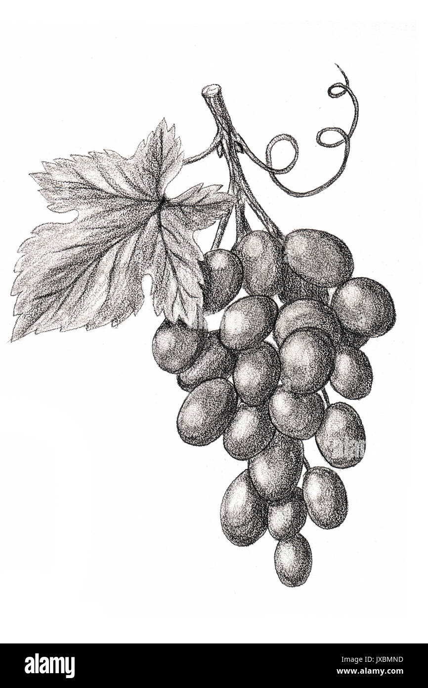 Bunch Of Grapes Hand Drawn Sketch Style On A White Background Stock Photo Alamy