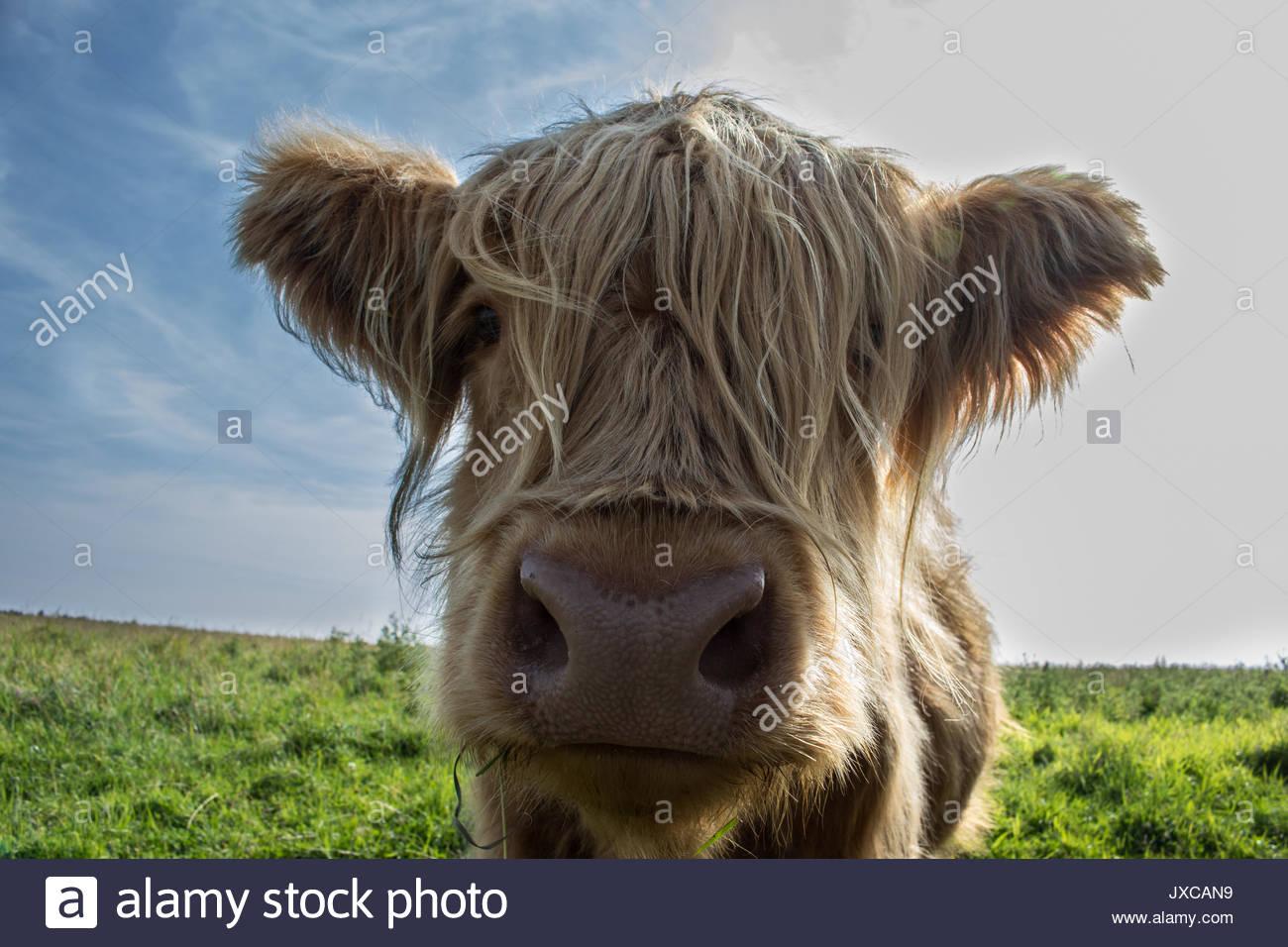 Cow Looking at Camera - Stock Image