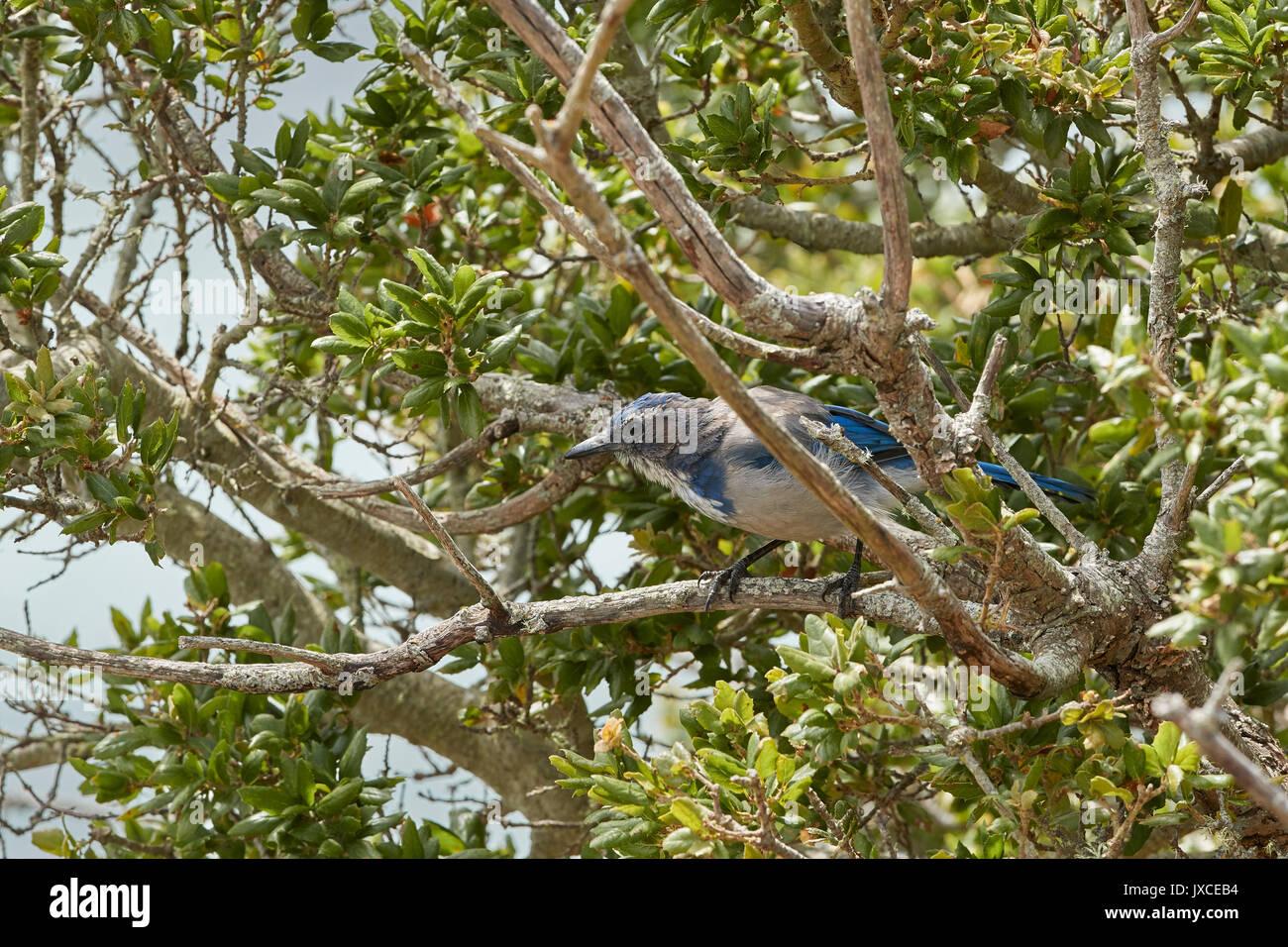 California Scrub Jay, Aphelocoma Californica On Angel Island, California. Stock Photo