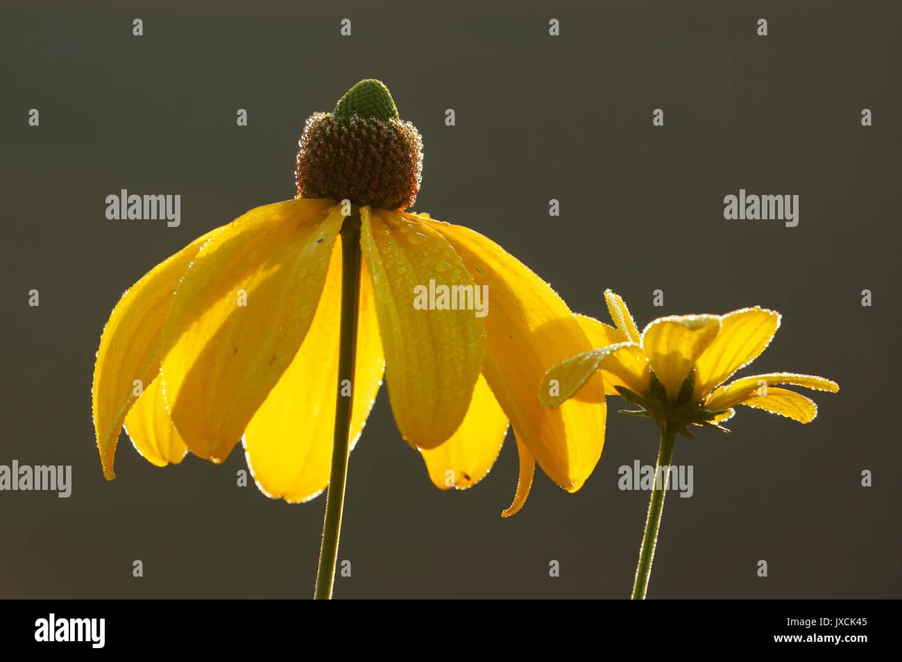 Shiny Coneflower 'Autumn Sun' / (Rudbeckia nitida)  | Fallschirm-Sonnenhut 'Herbstsonne' / (Rudbeckia nitida) - Stock Image