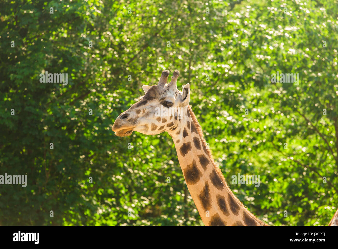 Close-up of a giraffe in front of some green trees. With space for text - Stock Image